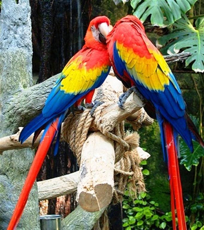Фото попугай ара красный