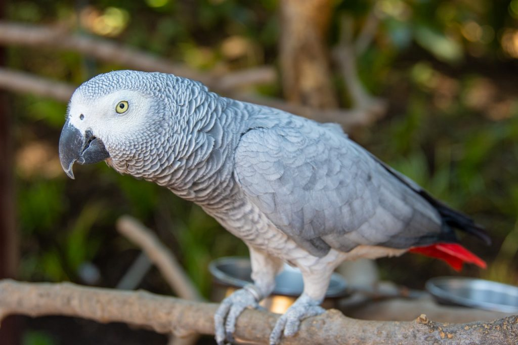 Блохи у попугаев корелла