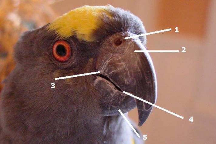 Болезни клюва попугая