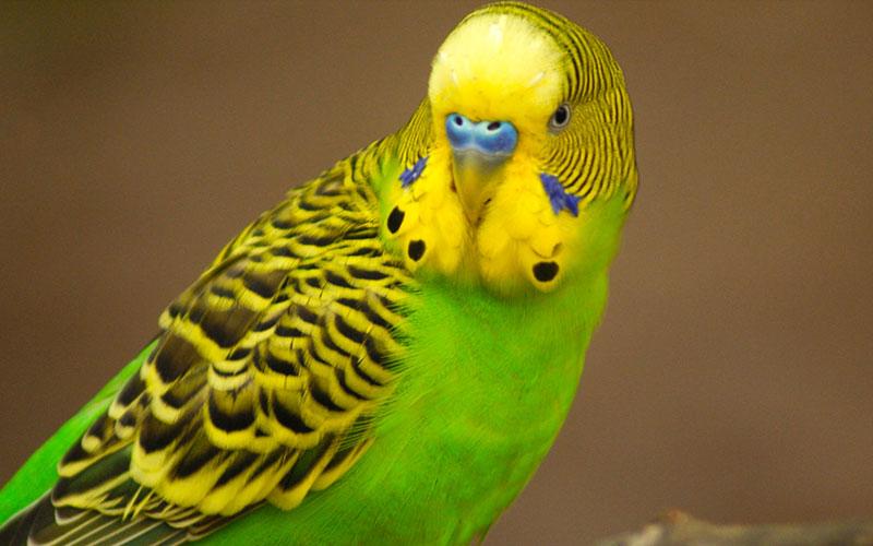 Попугай заразиться простудой