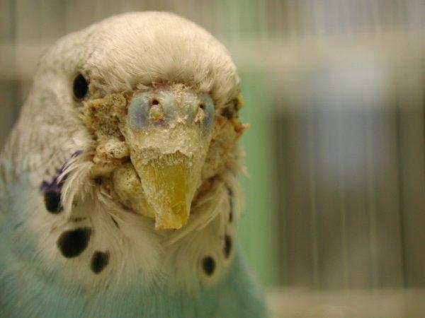 Клещ у попугая у клюва