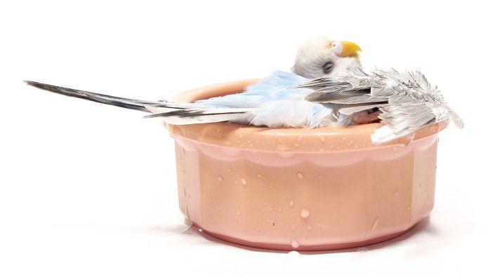 Как приучить попугая купаться в купалке