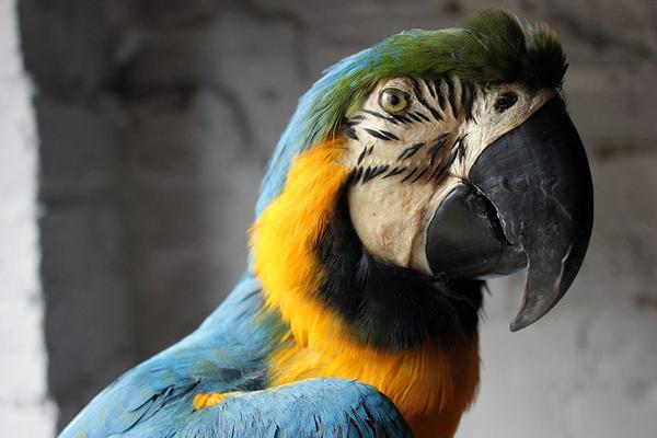 Музыка для попугаев корелла