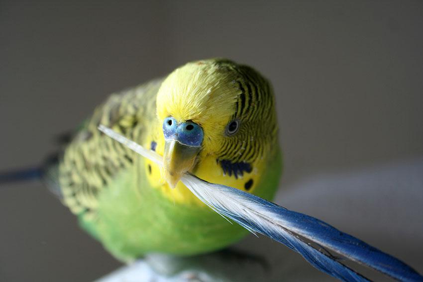 У попугая выпадают перья у клюва