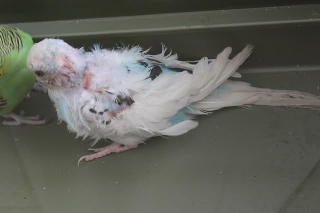 Французская линька у волнистых попугаев