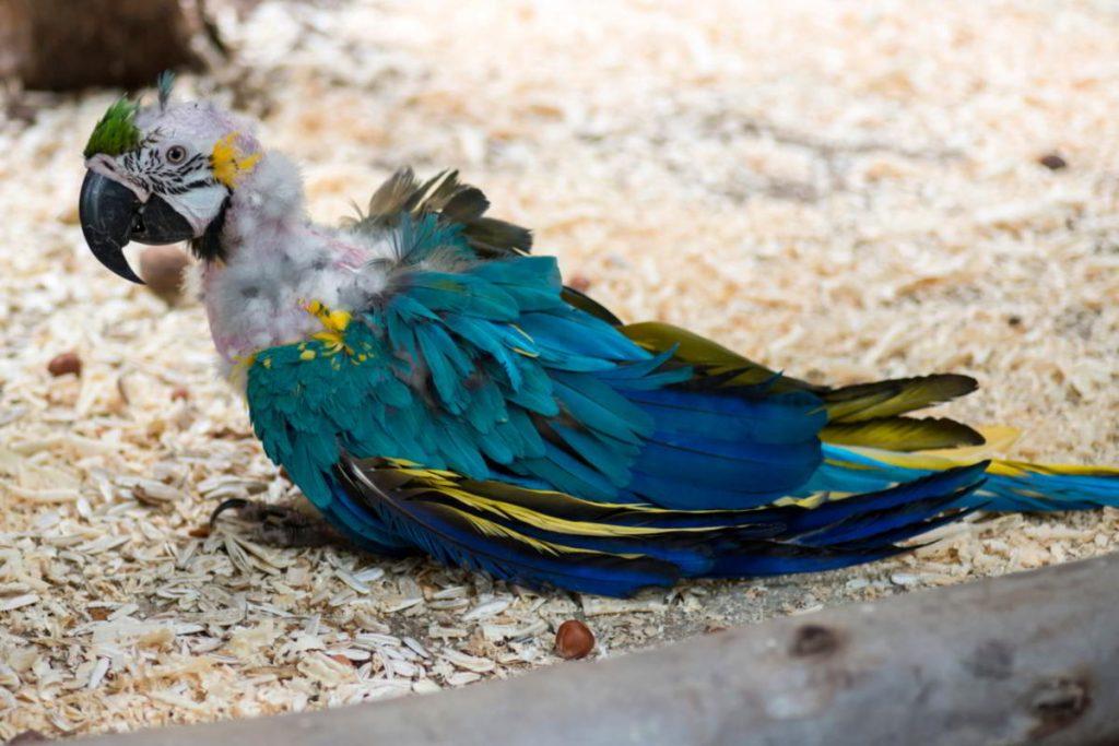 Линька у попугаев корелла