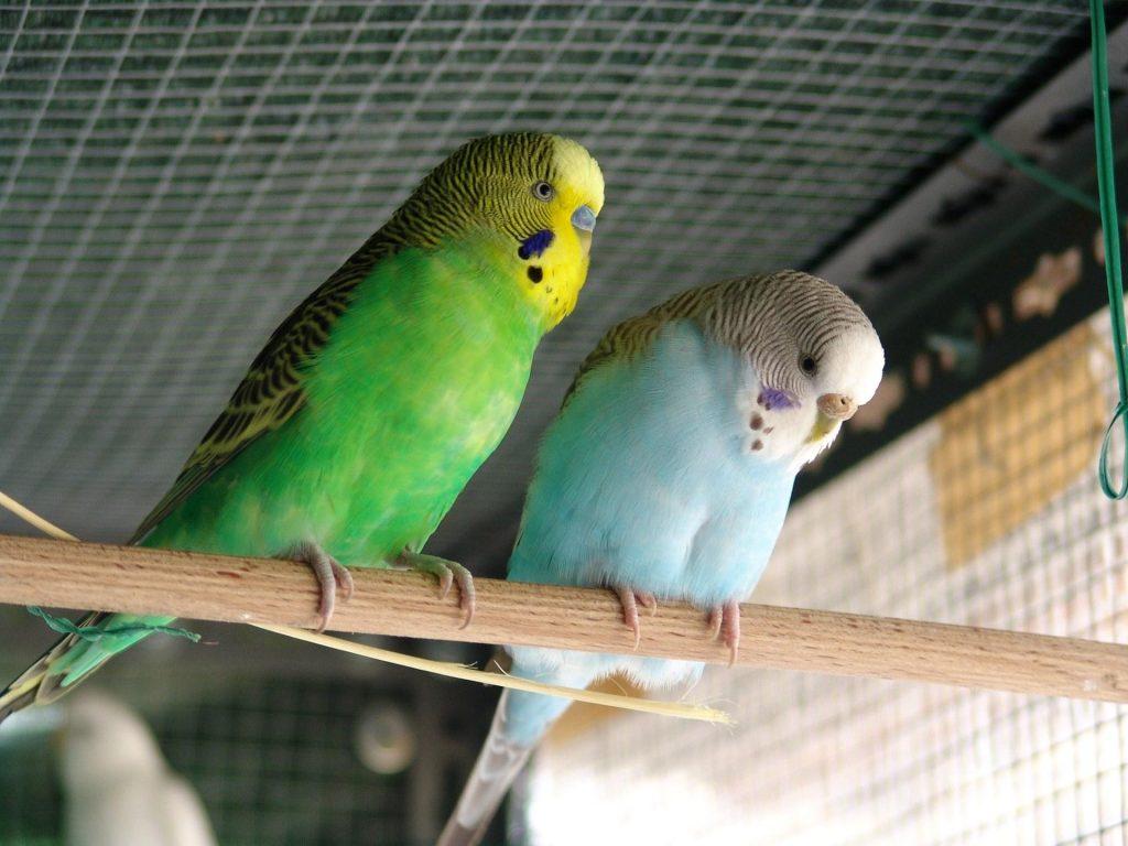 Может ли попугай заразиться от человека