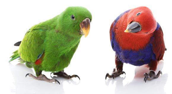 Чем отличается попугай девочка от мальчика