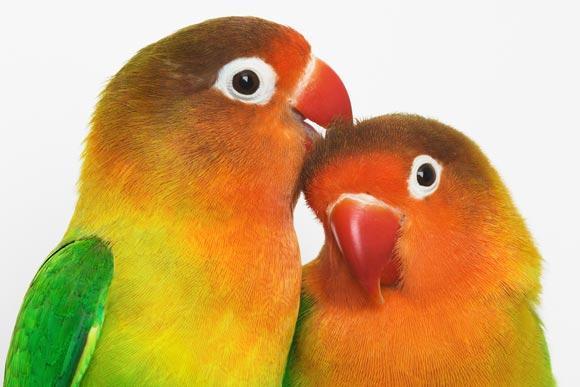 Попугай отличие мальчика от девочки