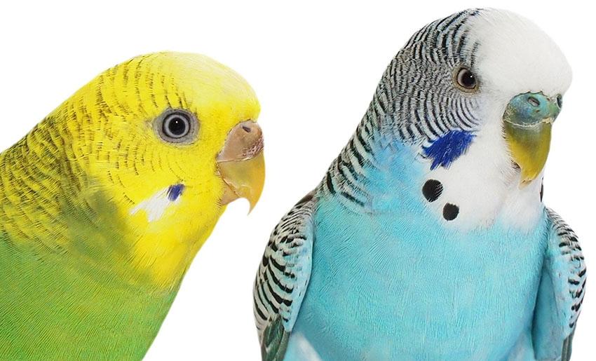 Волнистый попугай мальчик или девочка