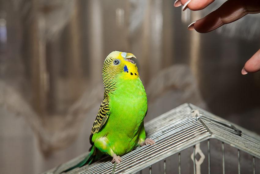Волнистый попугай кусается, как отучить