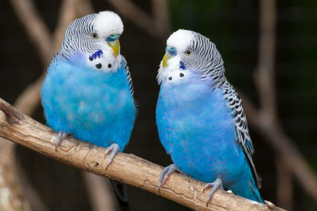 Как подобрать пару волнистому попугаю