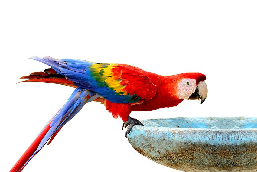 Какую воду лучше давать попугаю