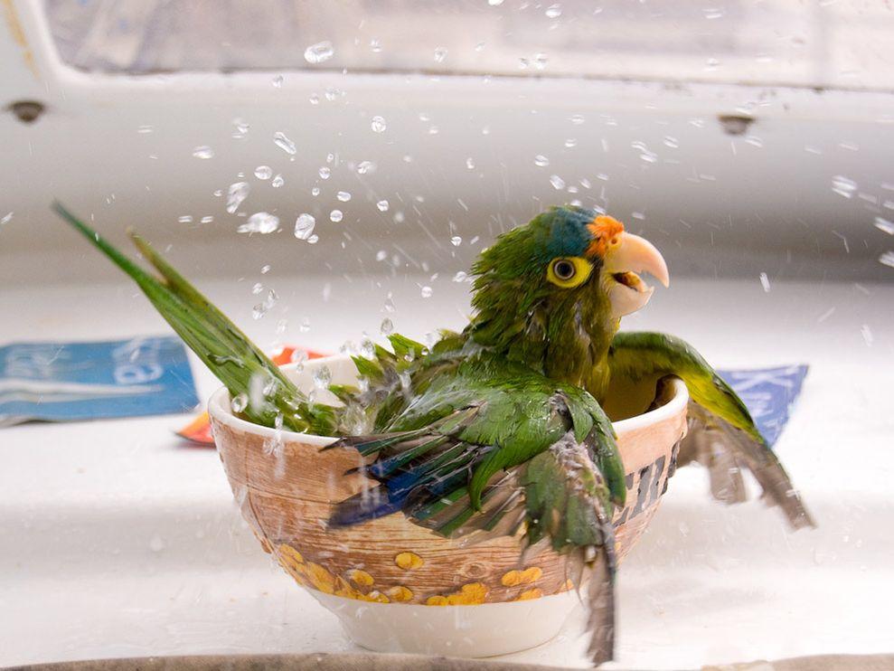 Как правильно купать волнистого попугая