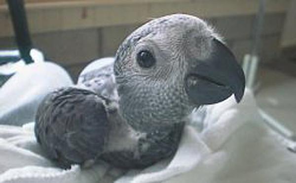 Птенцы попугаев Жако