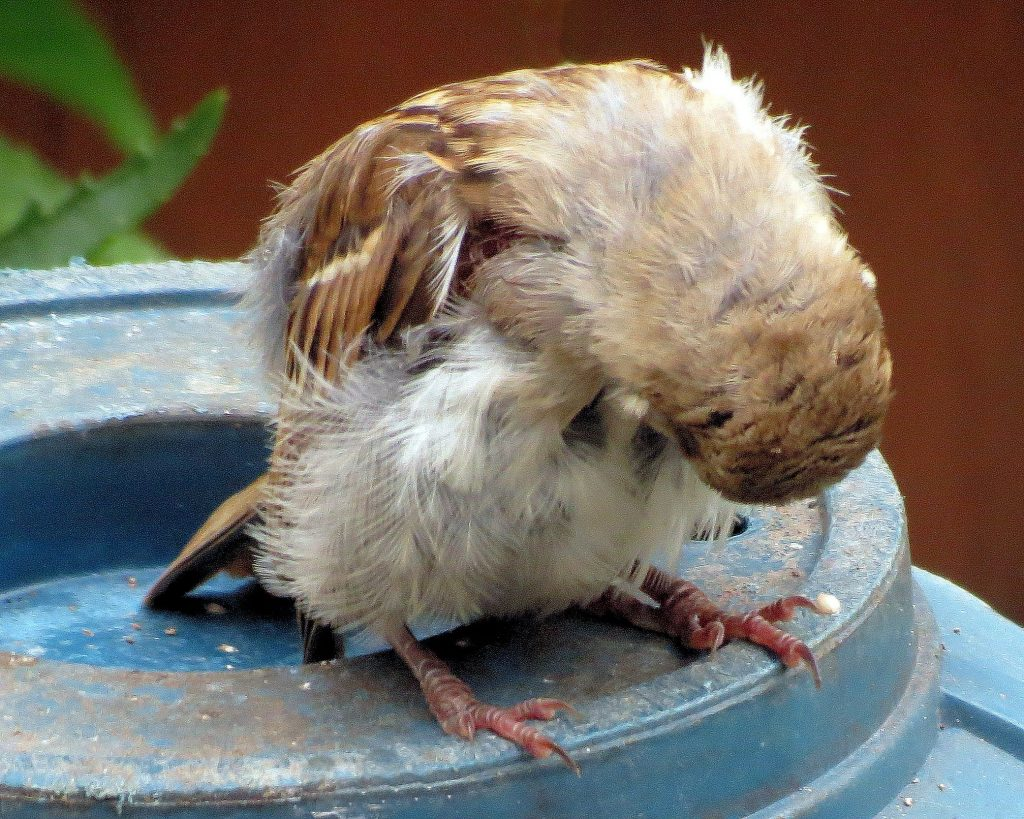Волнистый попугай чешется, что делать
