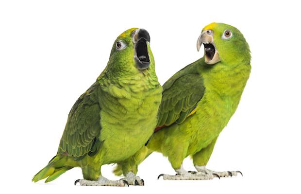 Как научить попугая корелла разговаривать