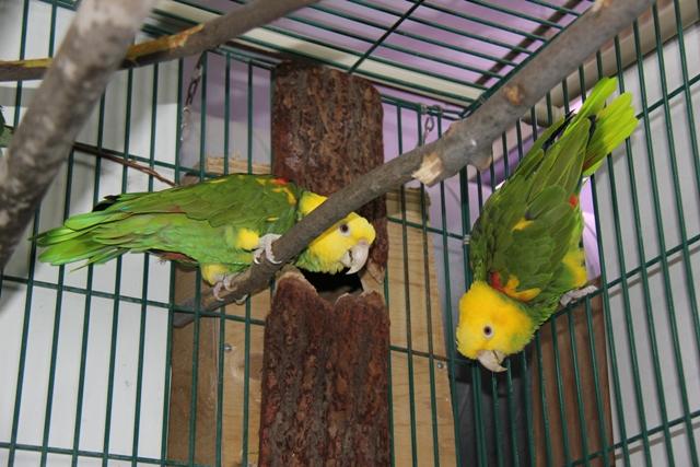 Попугаи неразлучники: содержание в домашних условиях