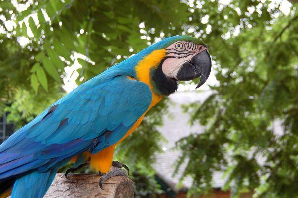 Попугай часто открывает клюв