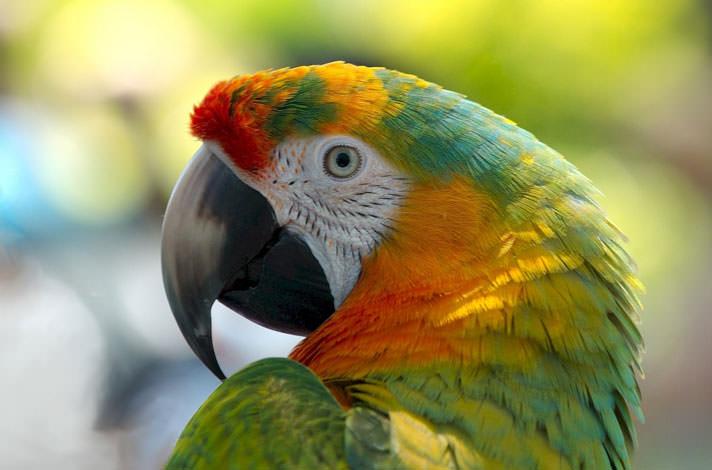 Сотрясение мозга у попугая корелла