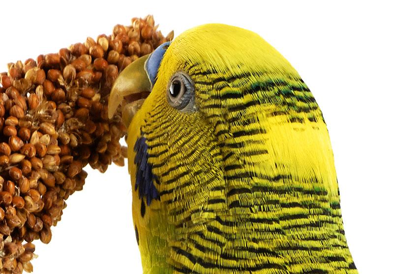 Можно ли кормить попугая пшеном