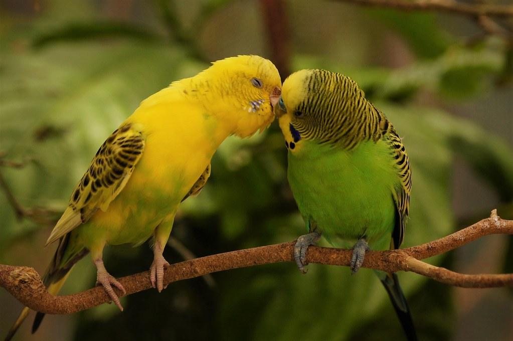 Заразиться от волнистого попугаев