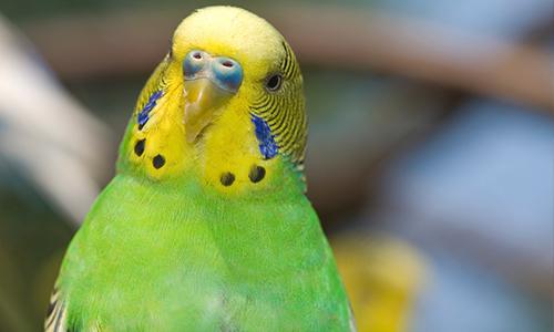 Попугай открывает клюв без звука