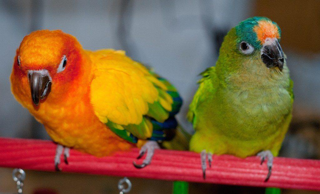 Почему у волнистого попугая синие лапки