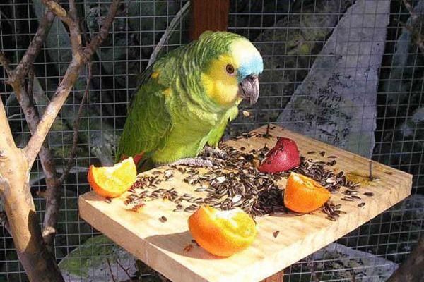 Можно ли давать мандарины волнистым попугаям
