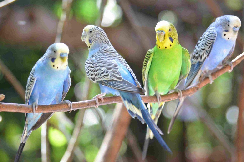 Почему волнистые попугаи не спариваются