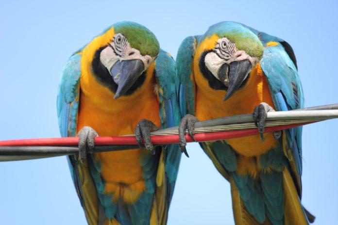 Почему попугай разговаривает как человек