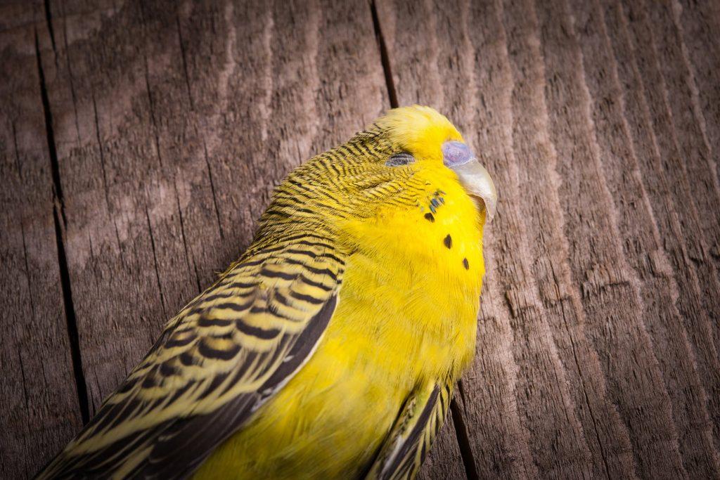 Попугай закрывает глаза и дрожит