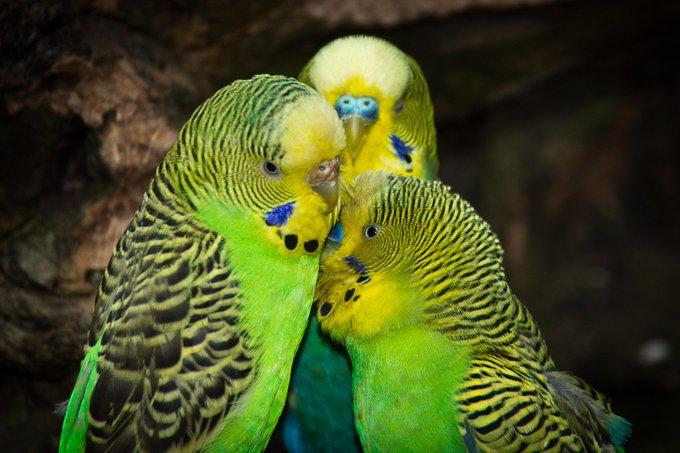 Попугай после покупки не чирикает
