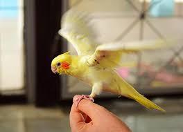 Почему попугай перестал летать