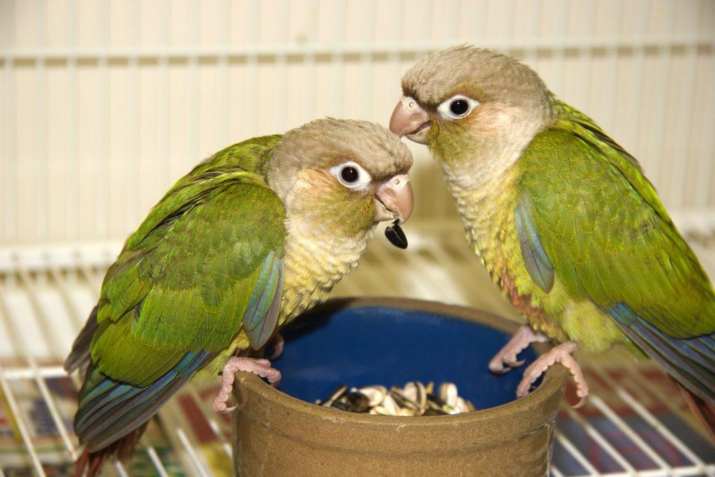Почему волнистый попугай отрыгивает пищу