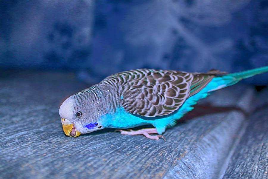 Волнистый попугай срыгивает зерно