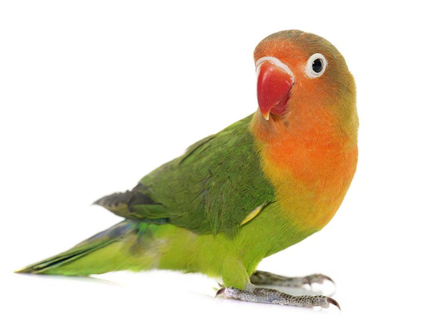 Вздутый живот и понос у попугая