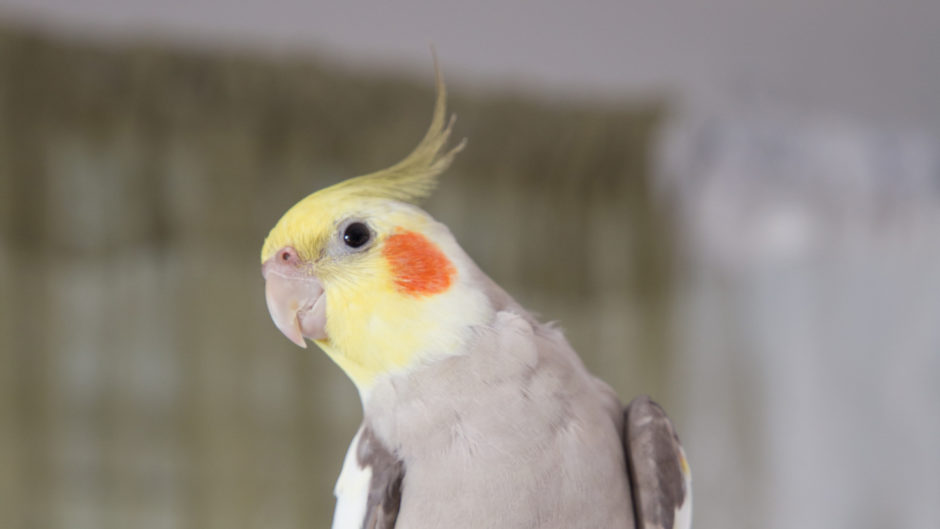 Почему волнистый попугай улетел