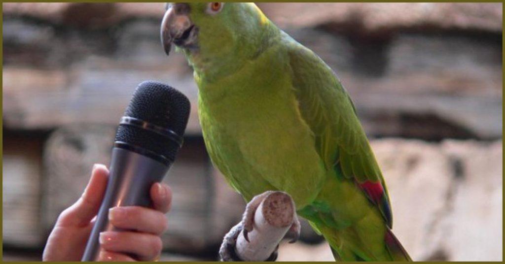 Почему попугаи могут разговаривать мальчики