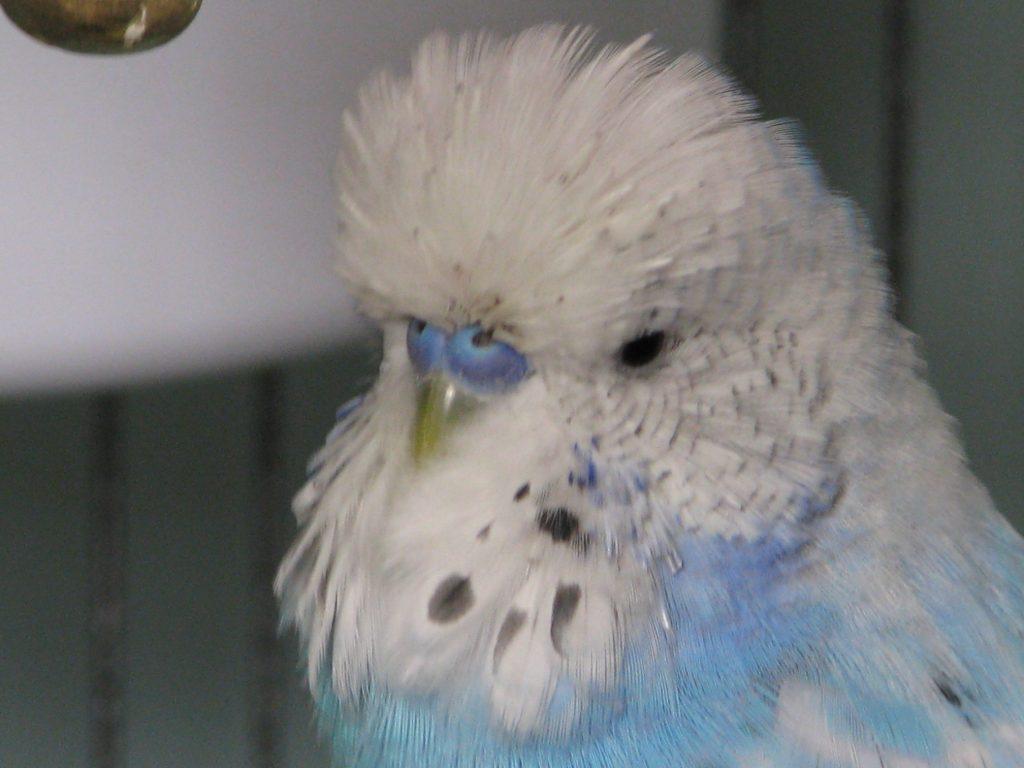 Сколько длится линька попугая