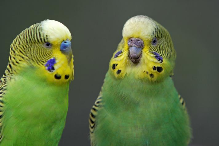 Попугаи дерутся между собой