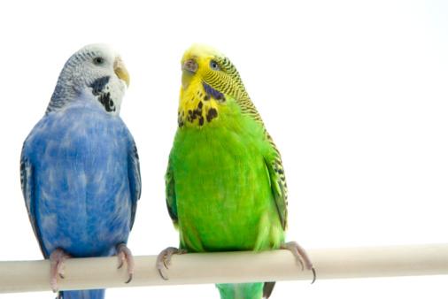 Как отличить мальчика от девочки попугай