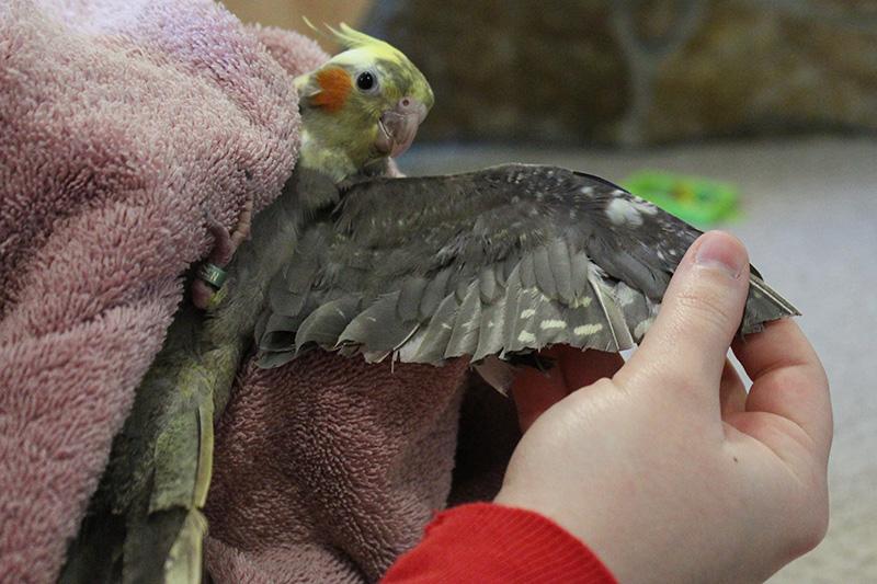 Попугай повредил крыло кровь