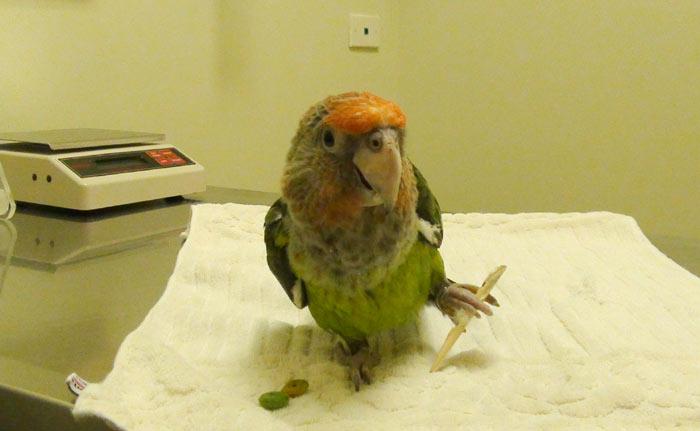 Как наложить шину на лапу попугаю