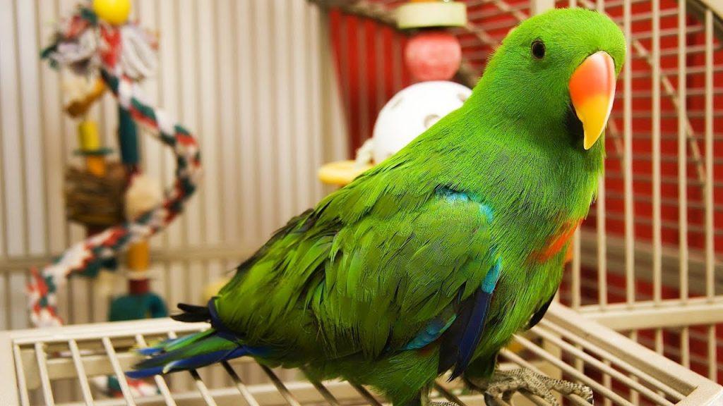 Чесоточный клещ у волнистого попугая