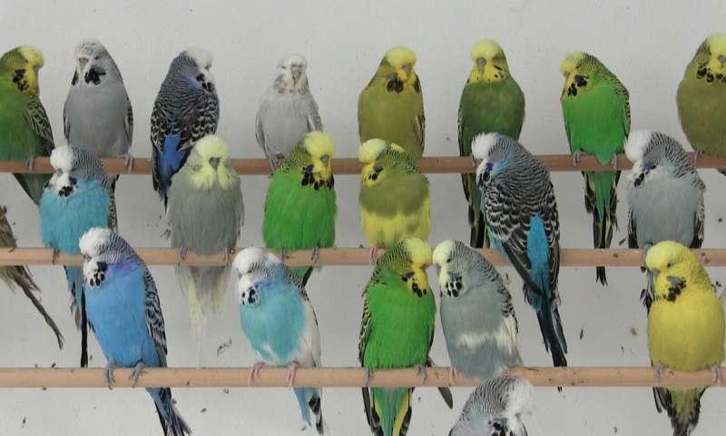 Пухопероеды у волнистых попугаев