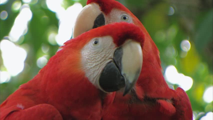 Размножение попугаев красный Ара