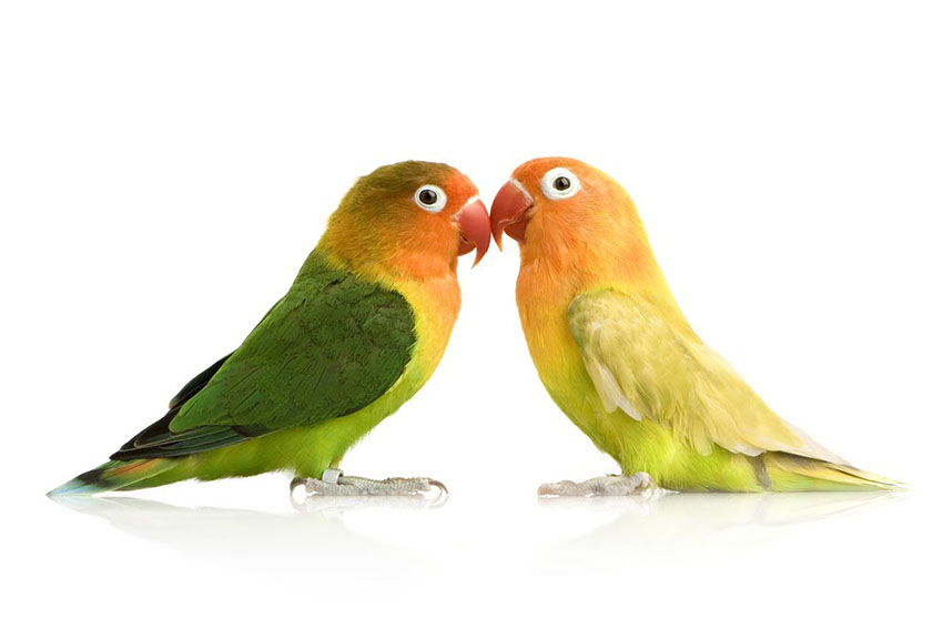 Размножение попугаев неразлучников