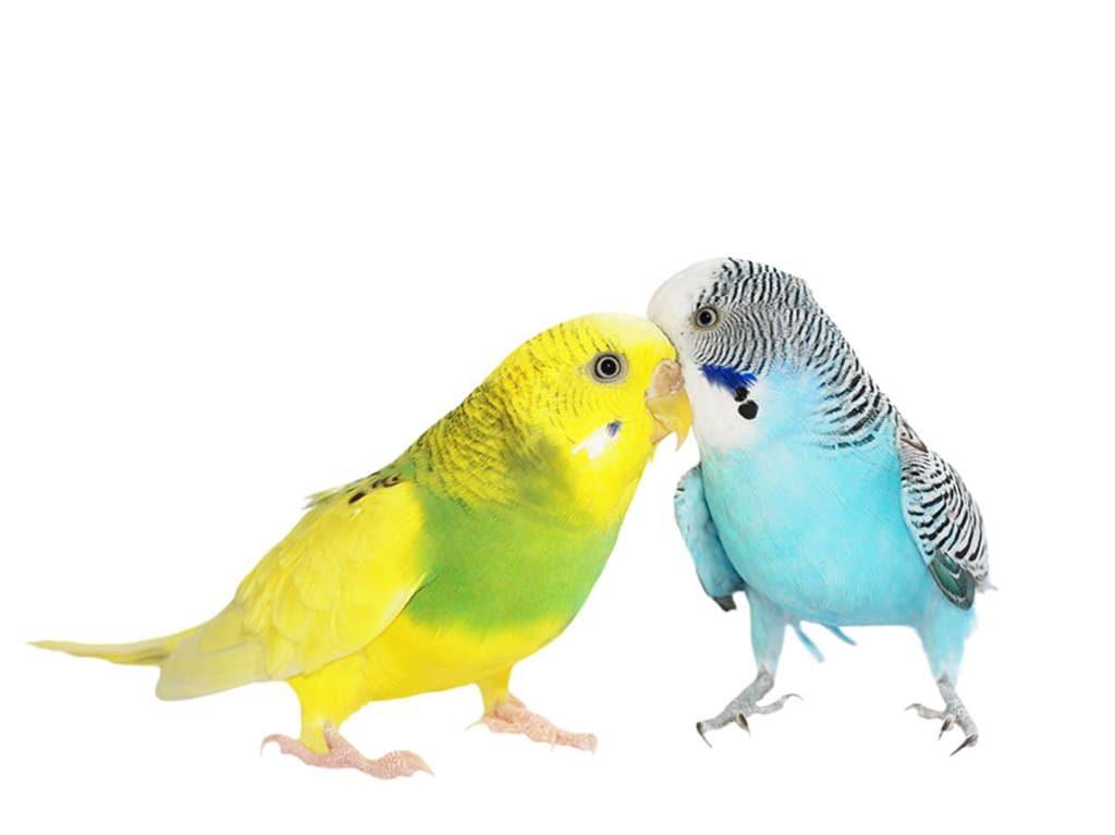 Размножение волнистых попугаев в домашних условиях