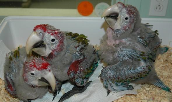 Корелла попугай птенец
